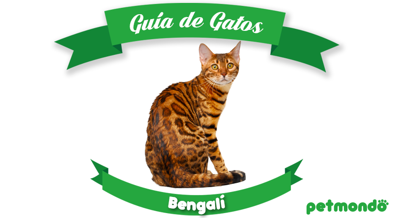 gato bengala gato bengalí petmondo international