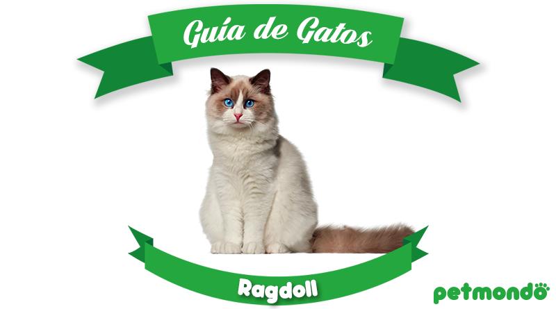 Gato Ragdoll petmondo international