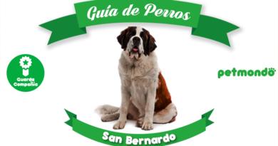 perro san bernardo petmondo international