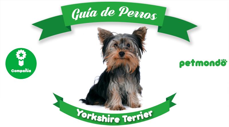 perro yorkshire terrier petmondo international