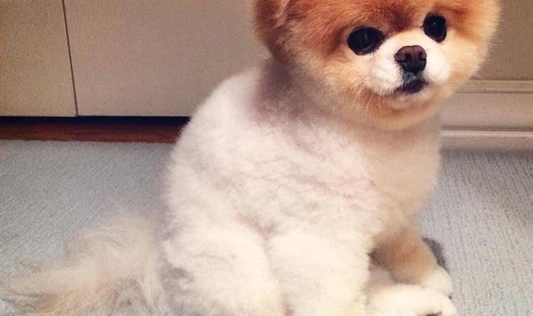 el perro más lindo del mundo boo the dog el perro boo petmondo international