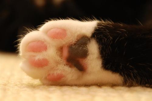 cómo limpiar las patas de un gato
