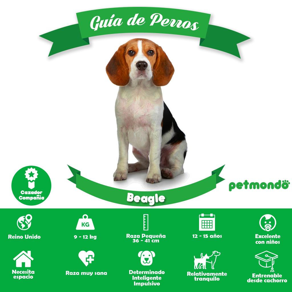 perro beagle sabueso petmondo internacional