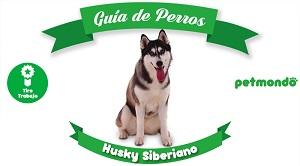 Husky Siberiano: un perro con mucho de lobo