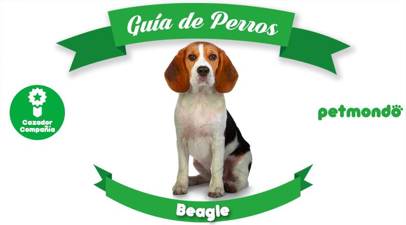 perro beagle sabueso petmondo international