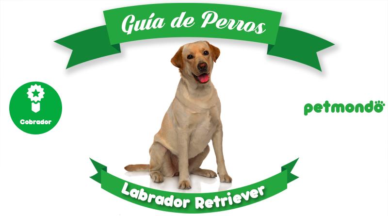 labrador retriever petmondo international