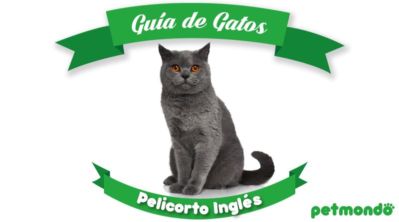 Guía de gatos - Pelicorto Inglés British shorthair petmondo international