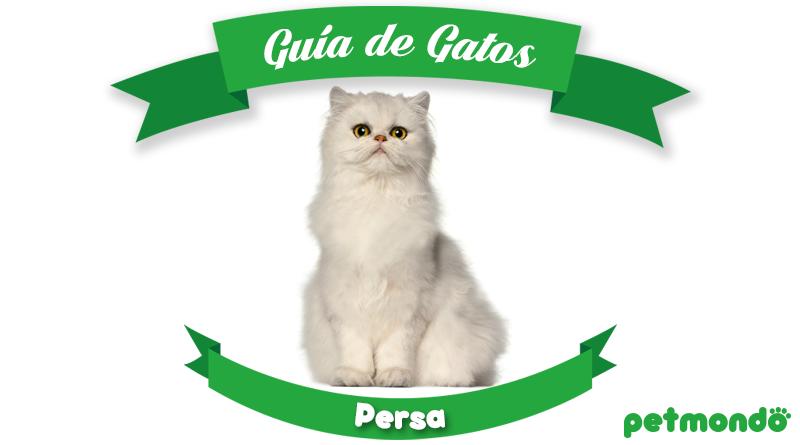 gato persa petmondo international persian cat