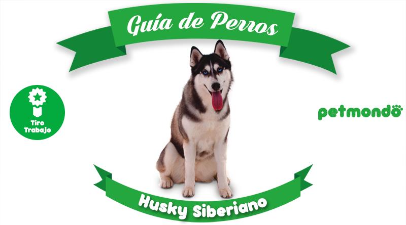husky siberiano petmondo international siberian dog