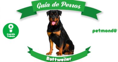 perro rottweiler guardián petmondo international dog mascotas pets
