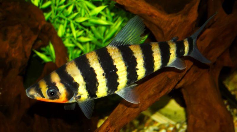 anostómidos peces de acuario petmondo international