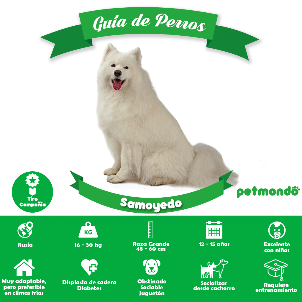 perro samoyedo perro ruso petmondo international