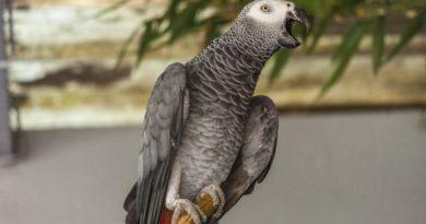 loro gris yaco petmondo international mascota