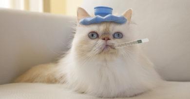 fiebre en gatos petmondo inetrnacional cuidados y tratamiento de la fiebre en gatos