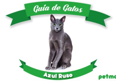 gato azul ruso petmondo international