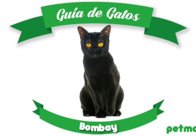 gato bombay petmondo international bombay cat