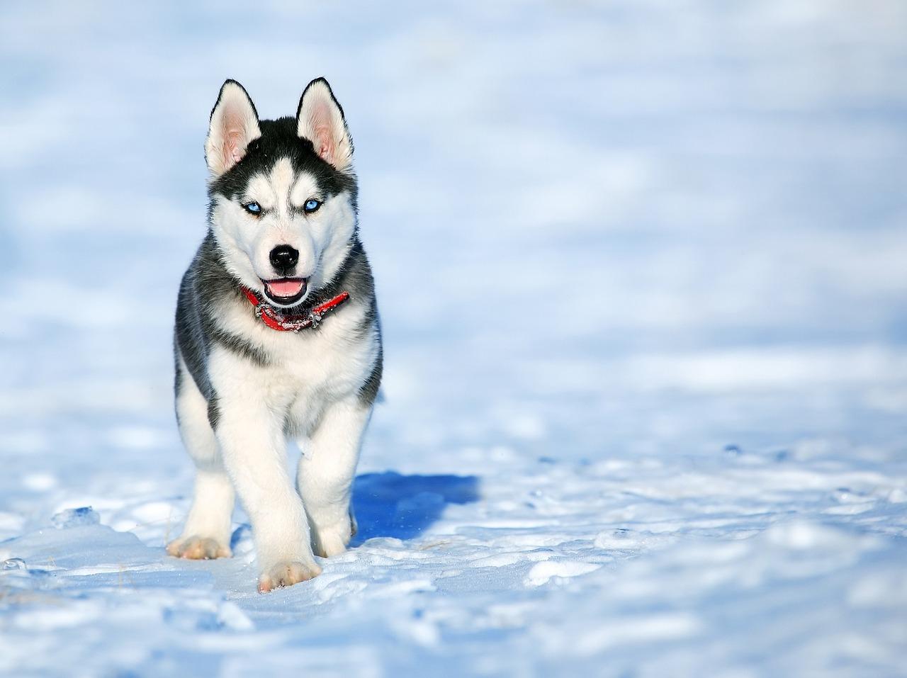 imágenes husky siberiano