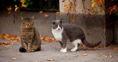 toxoplasmosis en gatos sintomas y tratamiento