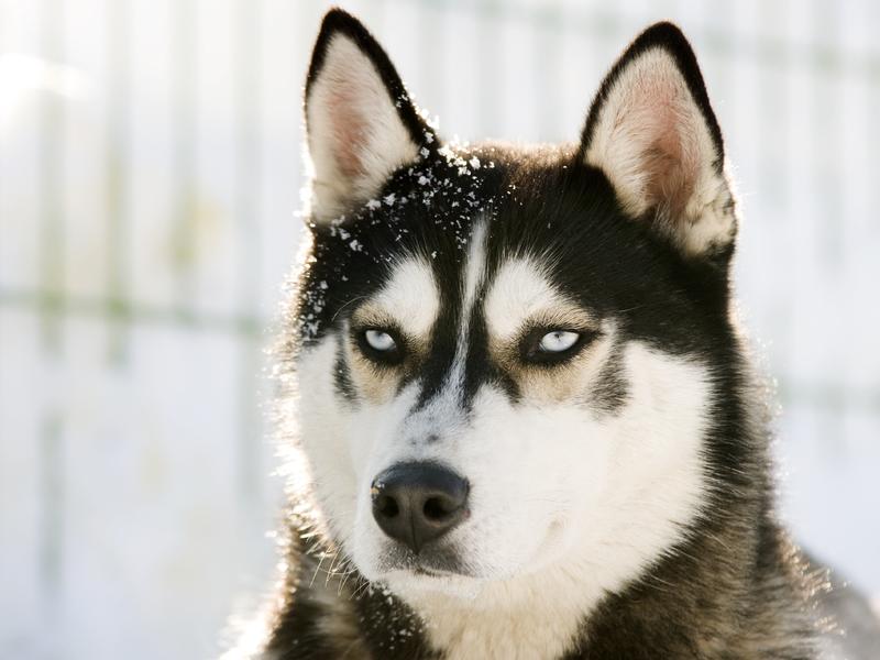 imágenes de husky siberiano