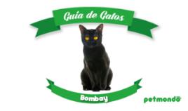 Gato Bombay: un gato casi pantera negra