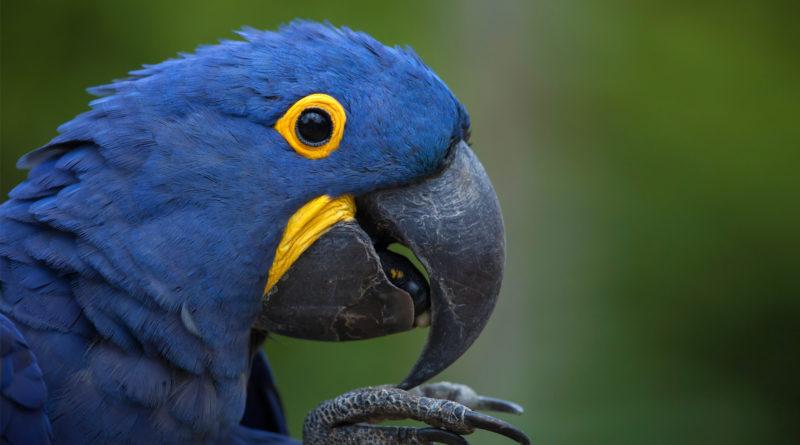 guacamayo azul guacamayo jacinto blue macaw petmondo