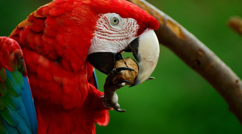 guacamayo aliverde red macaw petmondo international