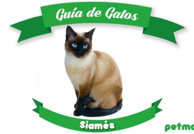 gato siamés petmondo international gato siames felino
