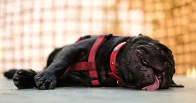 golpe de calor en perros petmondo international