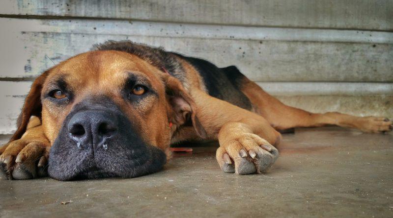 gripe en perros mi perro tiene gripe petmondo international