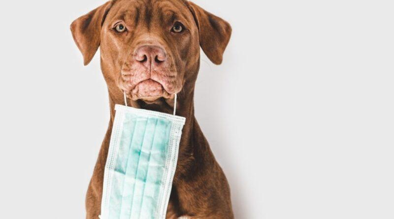 Perro coronavirus todo sobre el coronavirus canino