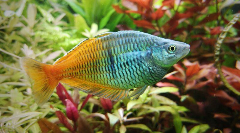 Pez arcoiris: Melanotaenia boesemani - Pez arcoíris